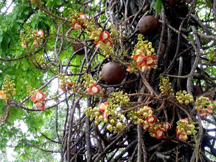 Cây hoa Ðầu Lân- Cannon-ball tree (Couroupita guianensis)