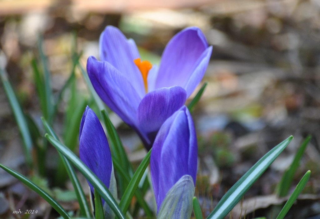 Crocus Feb 28 - 2014 (6)