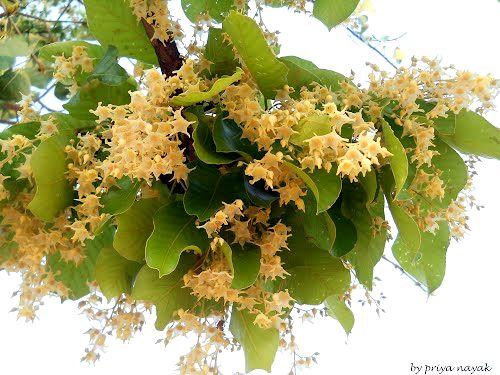 Hoa Thiêng Sala Shorea robusta