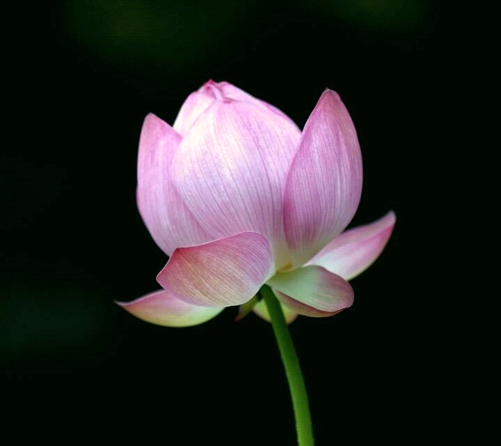 lotus-beauty