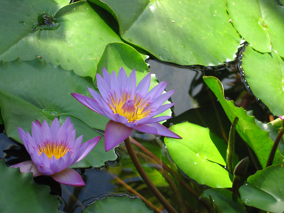 Water Lily (3)
