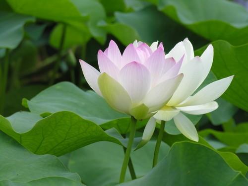 hoa Sen trắng 7