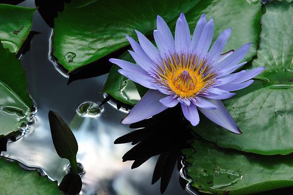 hoa sung tim