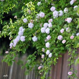 Hoa hong Tường Vi 2014 (97)