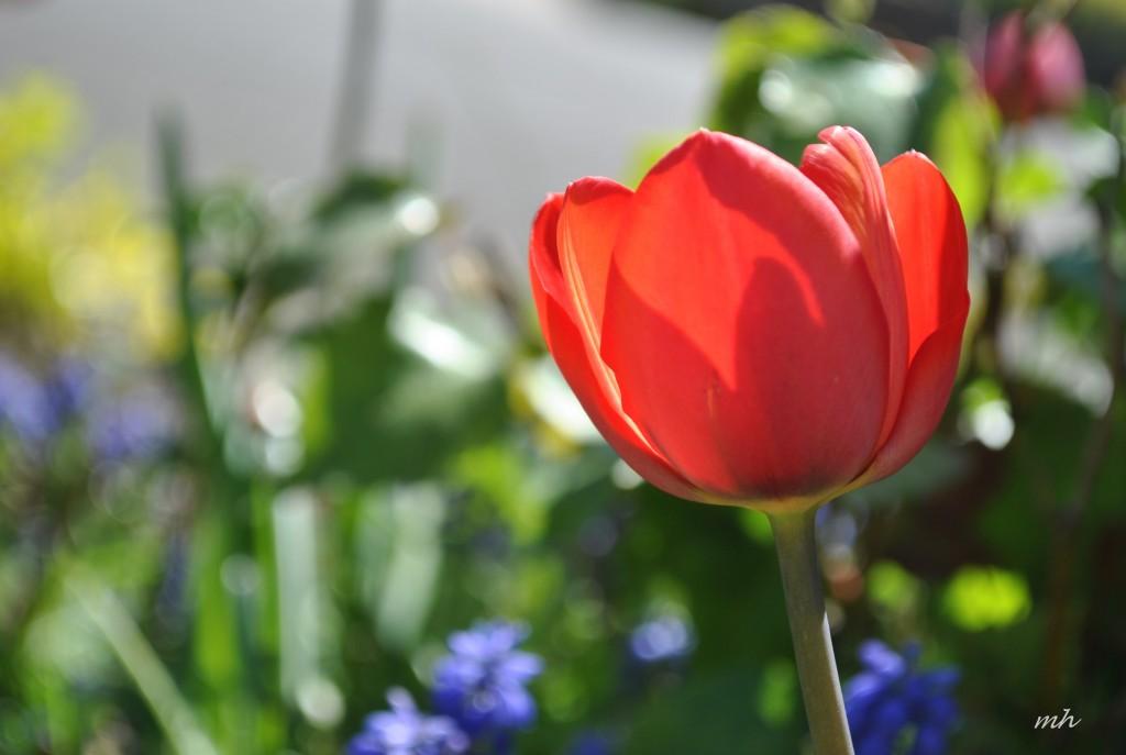 Tulip 2014 (4)