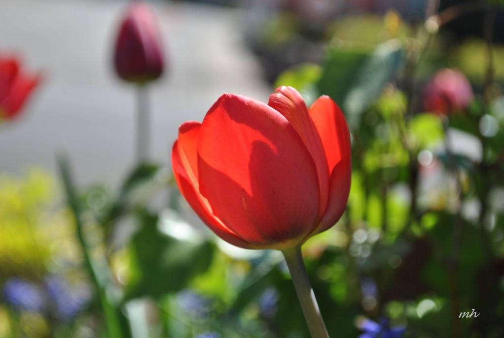 Tulip 2014 (5)