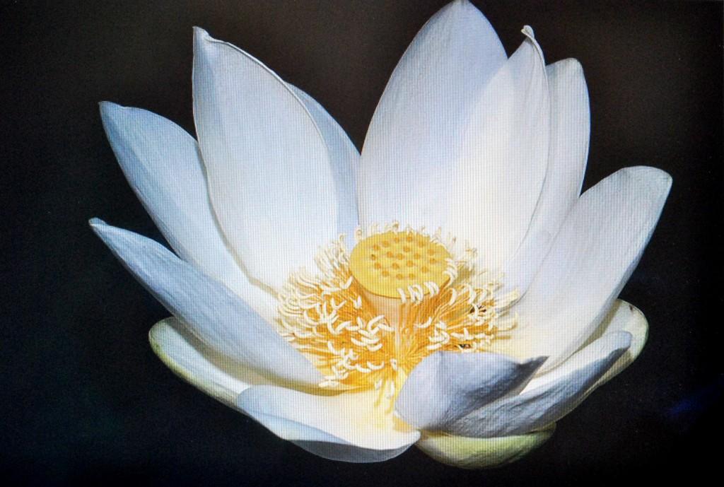 White Lotus (2)