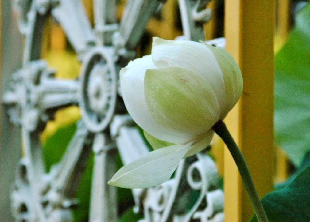 White Lotus at Buu Hung Temple 2014 (4)
