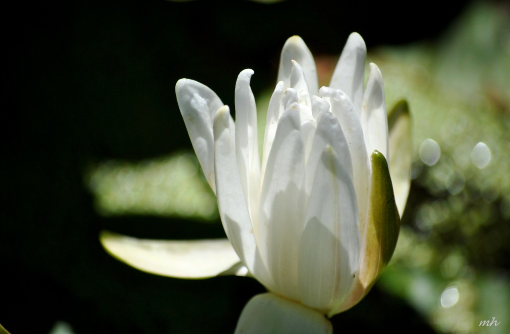 Water Lily July 2014. (15)