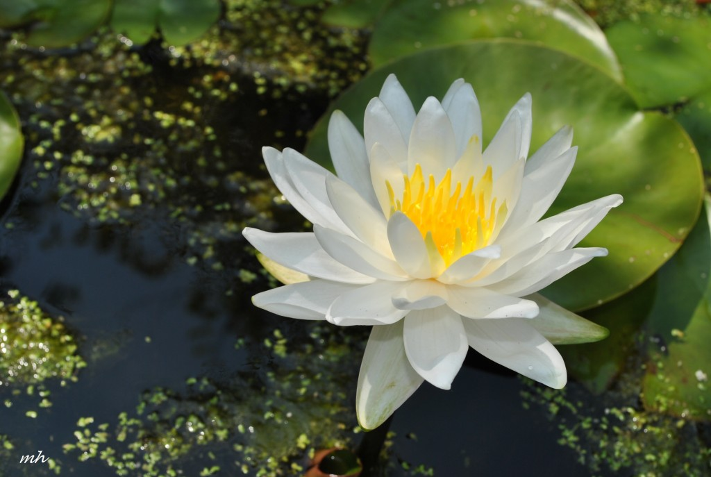 Water Lily July 15 - 2012. (5)