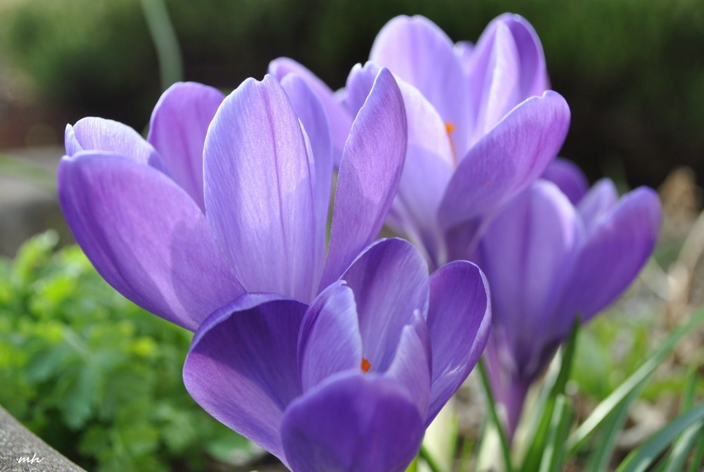 crocus-march-12-2013