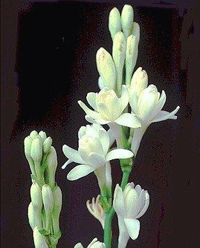 Cây hoa huệ