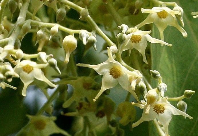 Hoa Sala  (3)