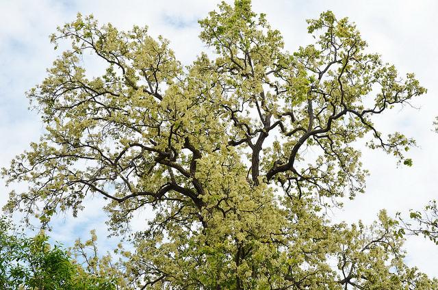 Sala tree (1)