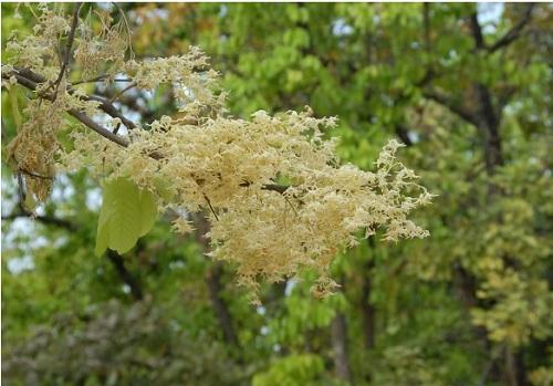 Sala tree (3)