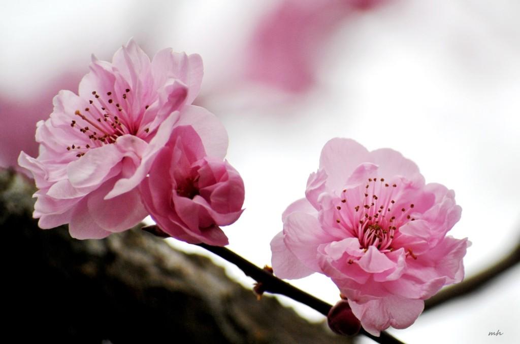 Cherry Blossoms 2015 (12)