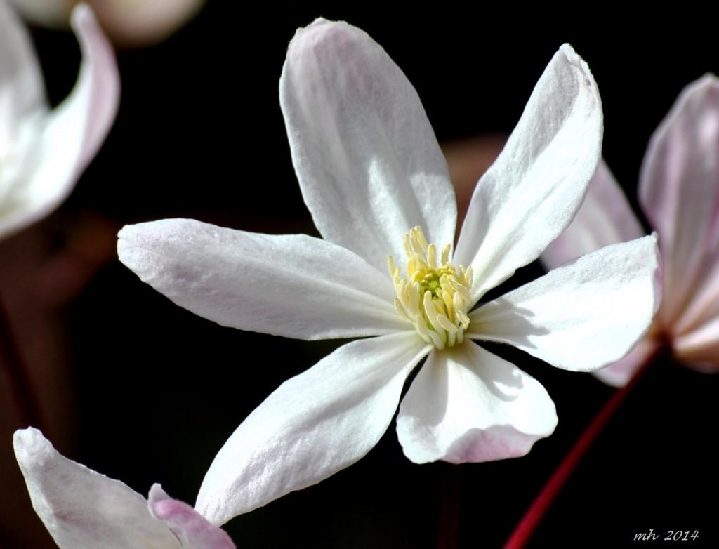 clematis-armandii-appleblosso-2014-1