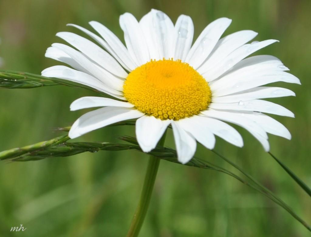 Hoa cúc dại tháng sáu 2014 (136)