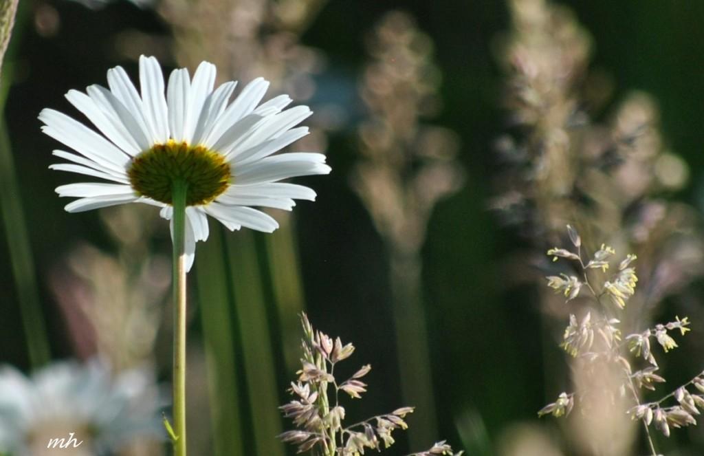 Hoa cúc dại tháng sáu 2014 (63)