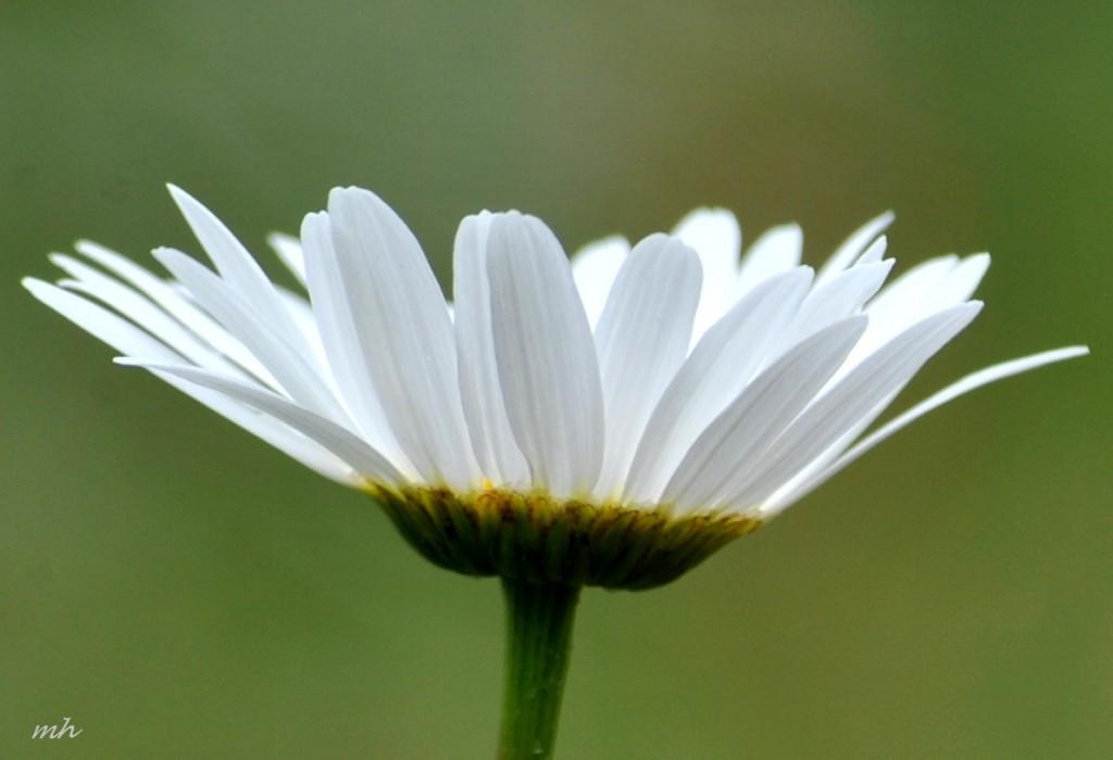 Hoa cúc dại tháng sáu 2014 (91)