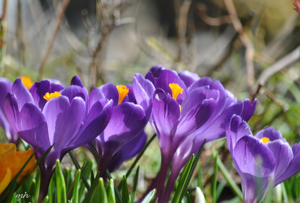 Crocus Feb 28 - 2014 (107)