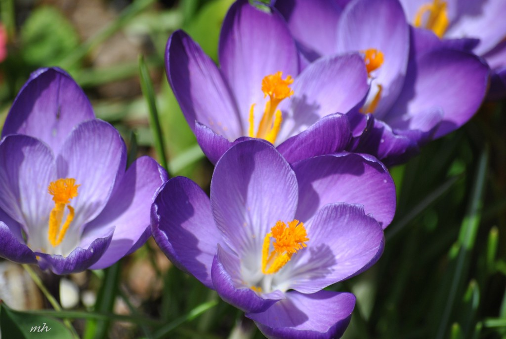 Crocus Feb 28 - 2014 (130)
