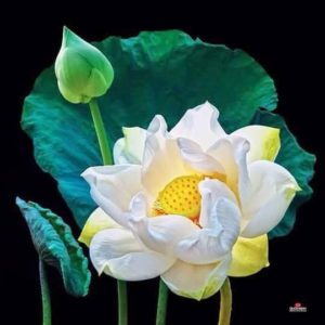 Lotus  (11)