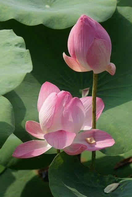Lotus (6)