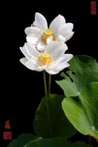 Lotus  (7)