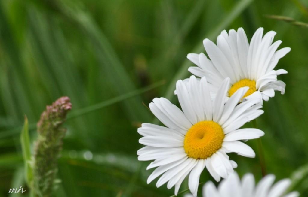 """Marguerite""- Hoa cúc dại 2014.. (1)"