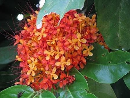 Ashoka Flower (1)
