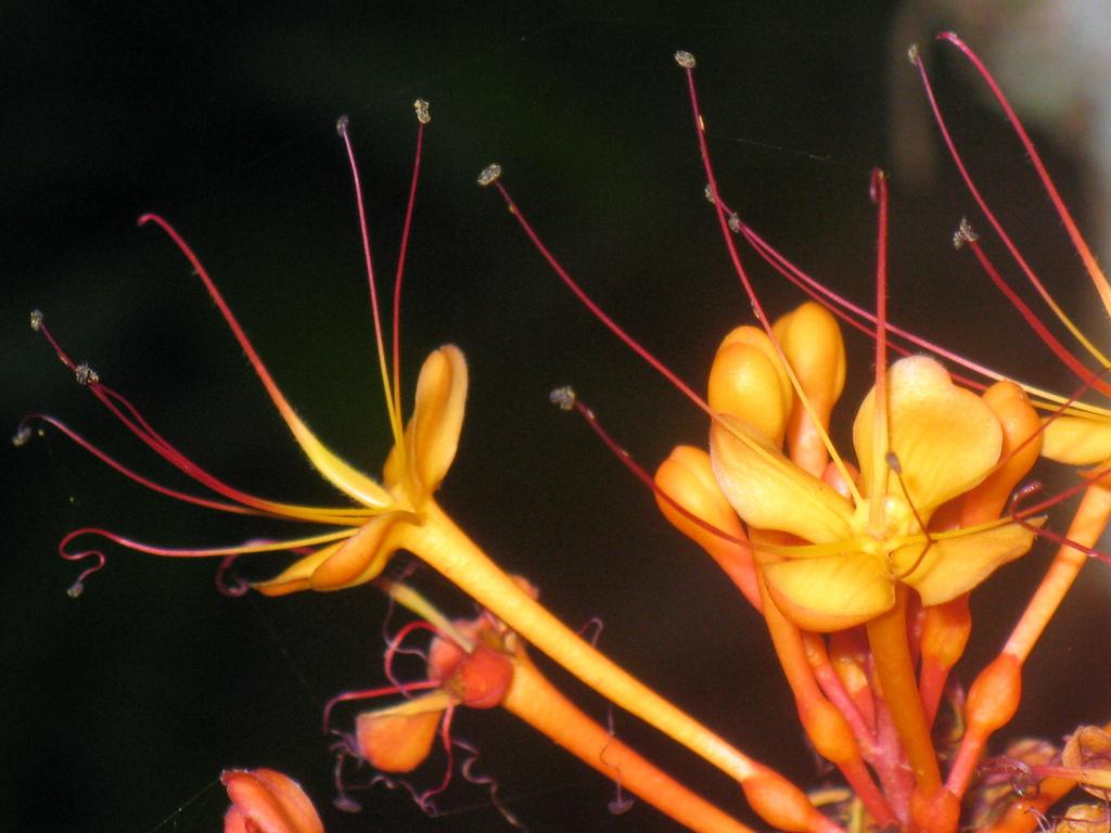 Ashoka Flower (4)