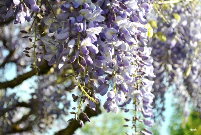 wisteria-2014-14