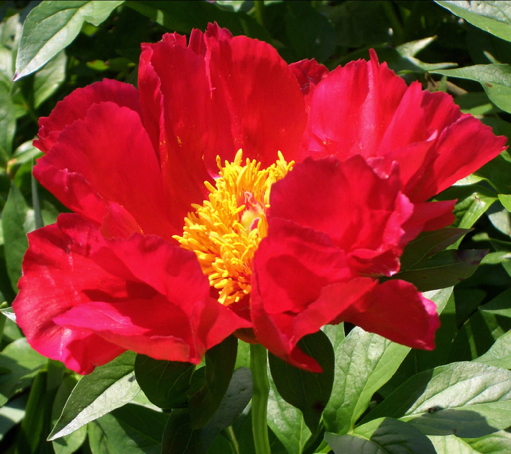 Paeonia lactiflora 'Blaze'
