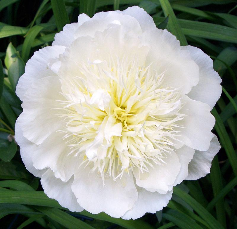 Paeonia lactiflora hoa Nhật Bản.