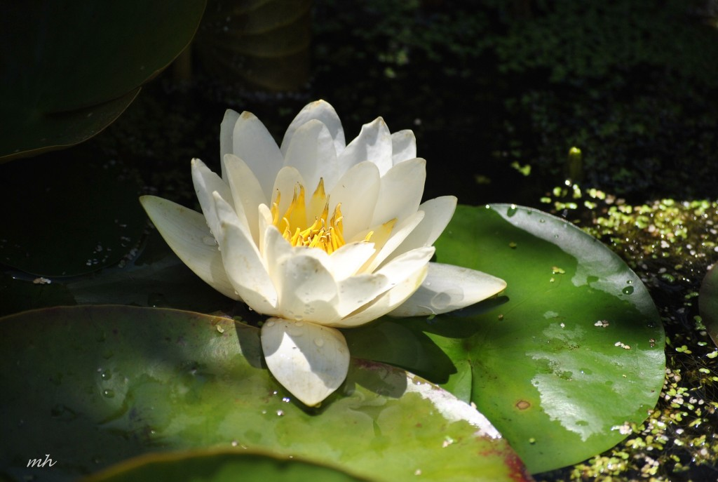 Water Lily 2014