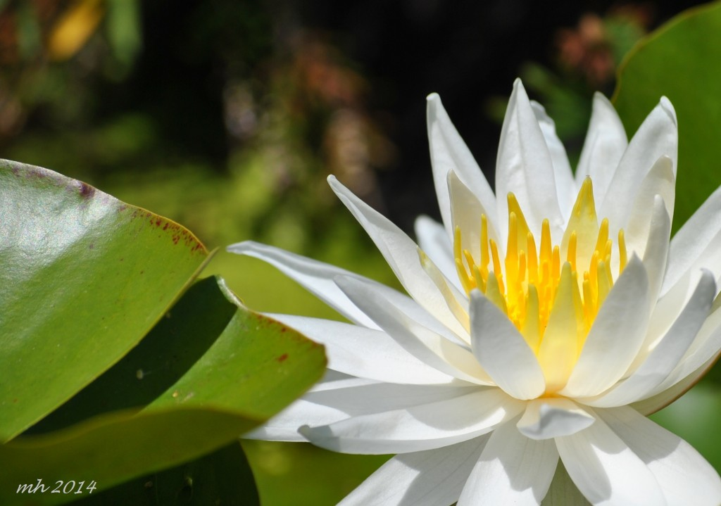 Water Lily July 2014. (54)