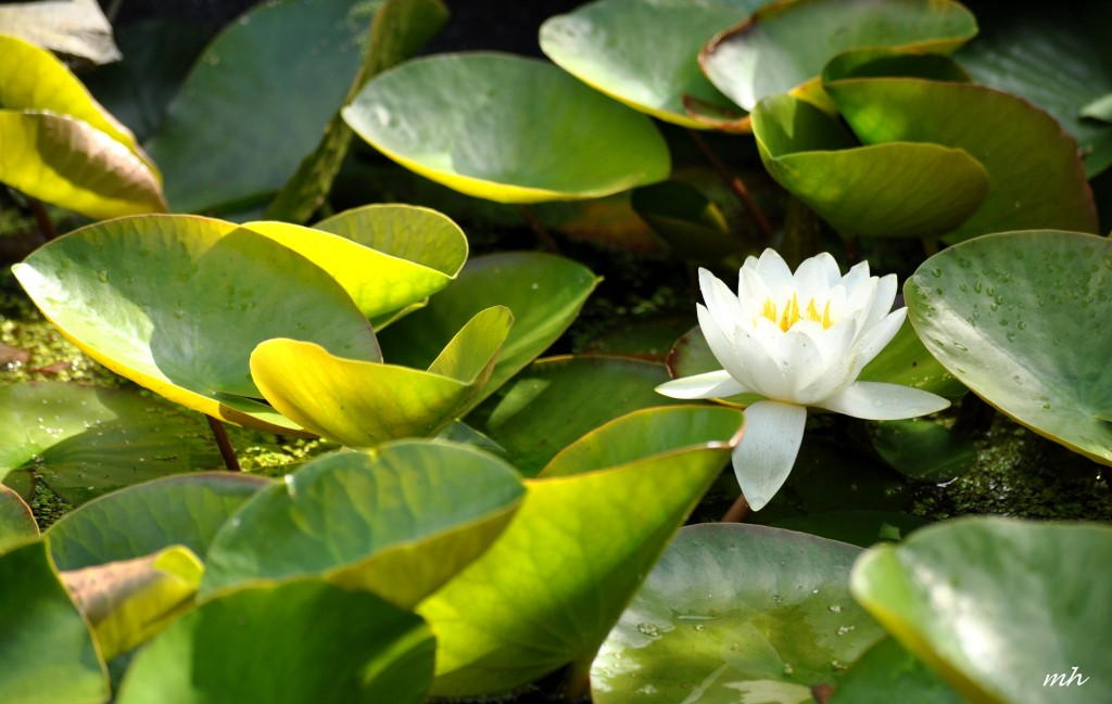 Water Lily June 28 - 2014 (6)