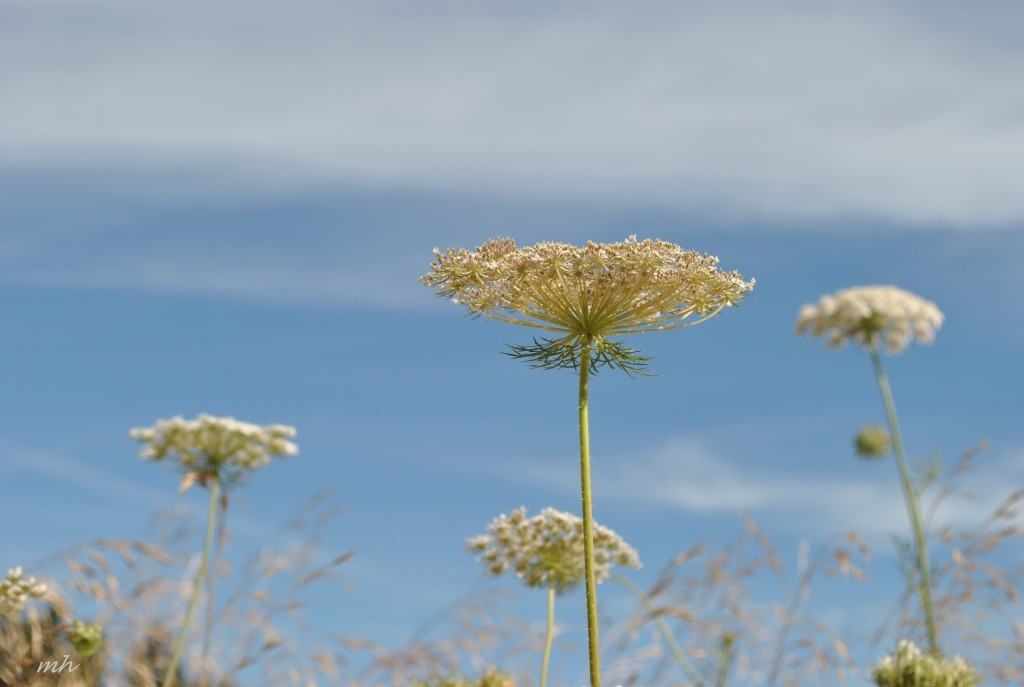 Hoa Queen Anne's lace 2014 (11)