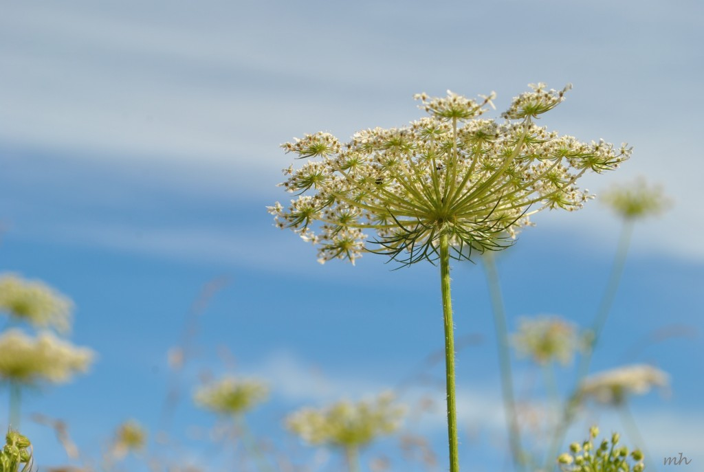 Hoa Queen Anne's lace 2014 (12)