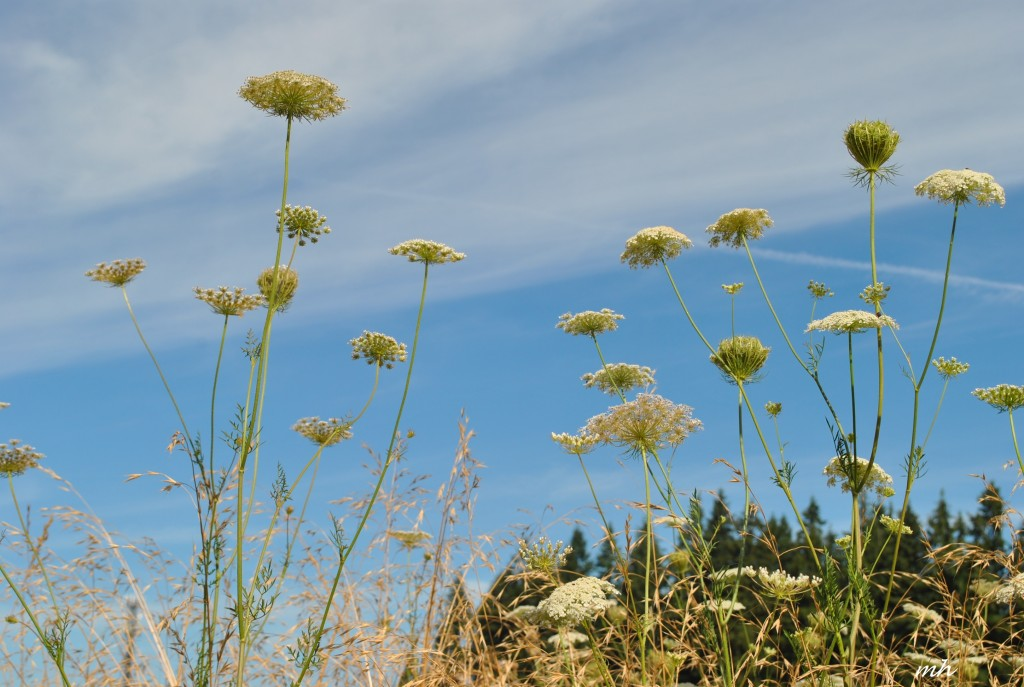 Hoa Queen Anne's lace 2014 (13)