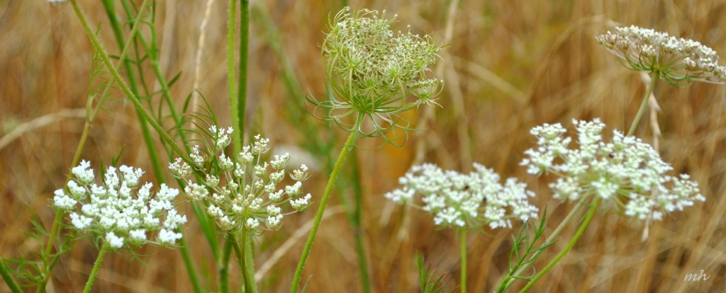 Queen Anne's lace 2014 (195)