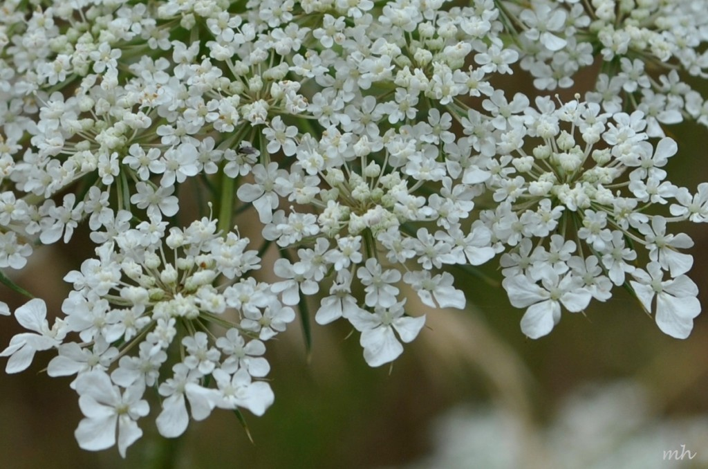 Queen Anne's lace 2014 (383)