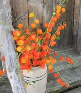 Chinese Lantern Flowers (34)