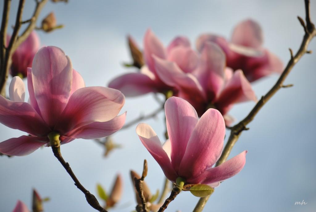 Magnolia March 19 - 2015 (1)