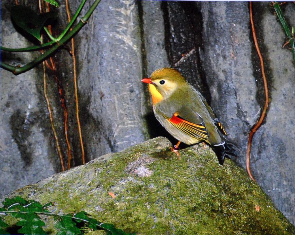 chim Tiểu Quế Lâm (1)