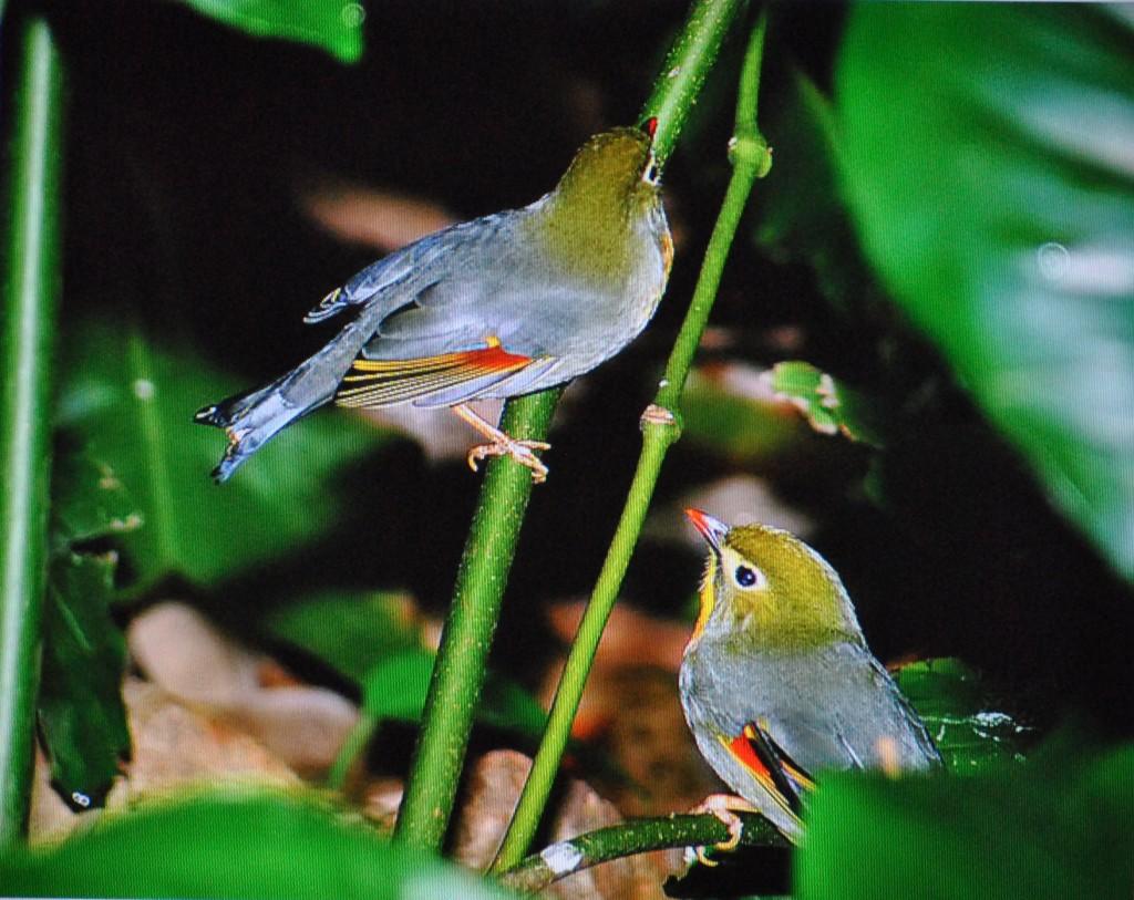 chim Tiểu Quế Lâm (2)