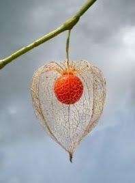 physalis angulata (2)