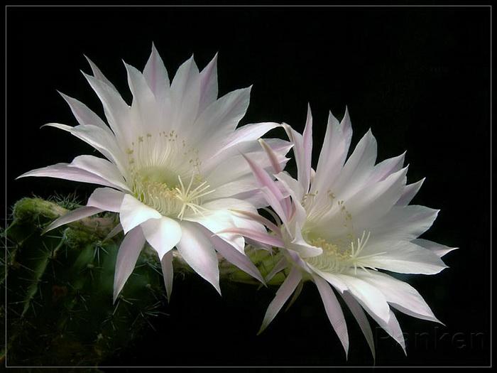 y nghia hoa quynh5