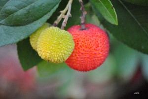 Eastern Strawberry tree (4)